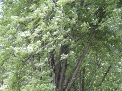 photo of silver maple