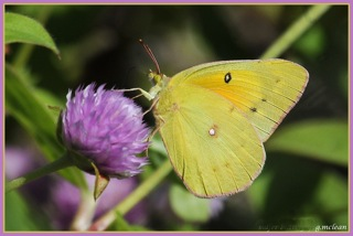 photo of sulphur butterfly