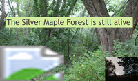 the silver maple forest is still alive