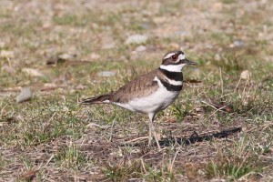 john sharp- kildeer april 2014 walk