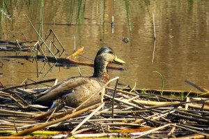 Can anyone identify this duck seen at the wetlands today?....