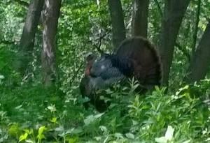 turkey from Tom 5-30-14