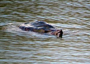 turtlelarge