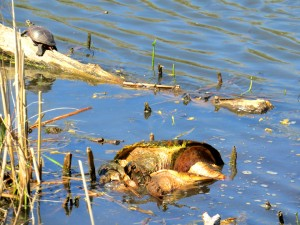 turtlesmating