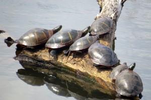 turtlessunning5-3-14