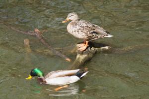 duckssunning