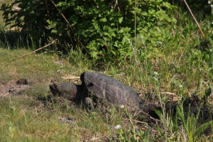 snapping turtle resting after laying eggs (I think) May 30, 2015