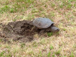 snapping_turtle_nest(1)