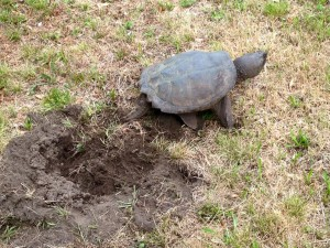 snapping_turtle_nest_2