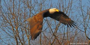 Eagle flying at Alewife. An important area to protect. Captured by George McLean.