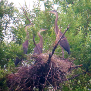 three young herons ready to leave the nest!....