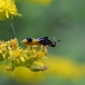 Jagged Ambush Bug, Phymata sp.
